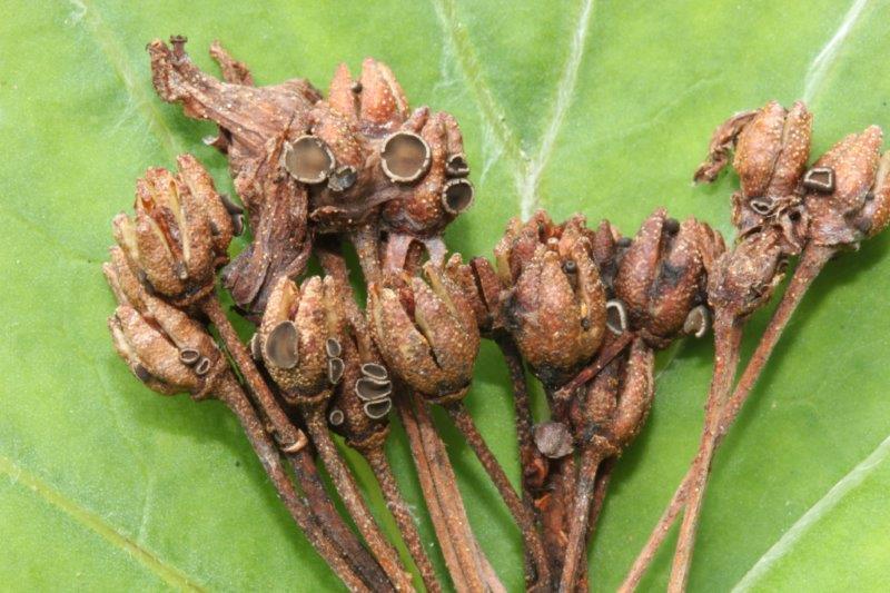 Encoeliopsis rhododendri (4)
