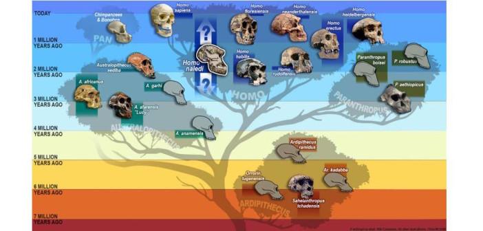 human-phylogeny_cut