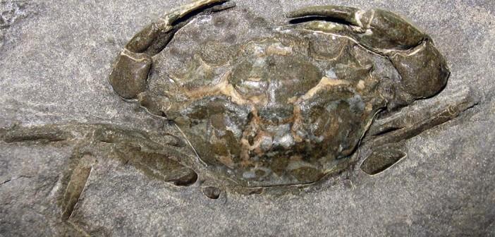 fossile-granchio