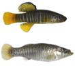 Aphanius fasciatus